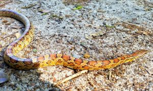 corn snake removal charleston south carolina