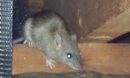 Rat and Rodent Control