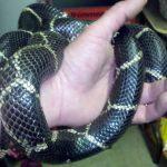 eastern king snake