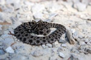 pygmy rattlesnake sc