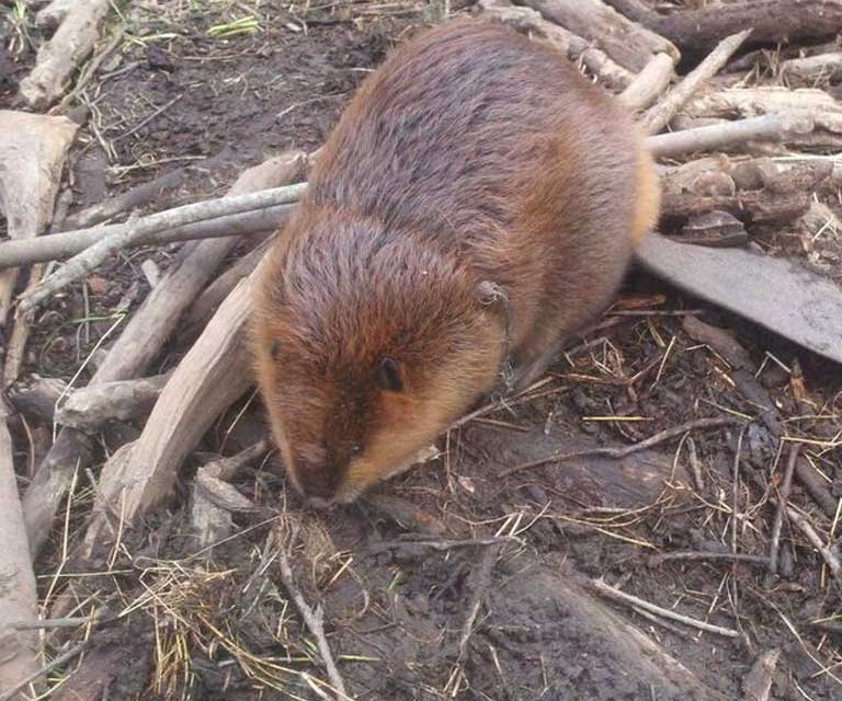 Beaver Trapping and Removal