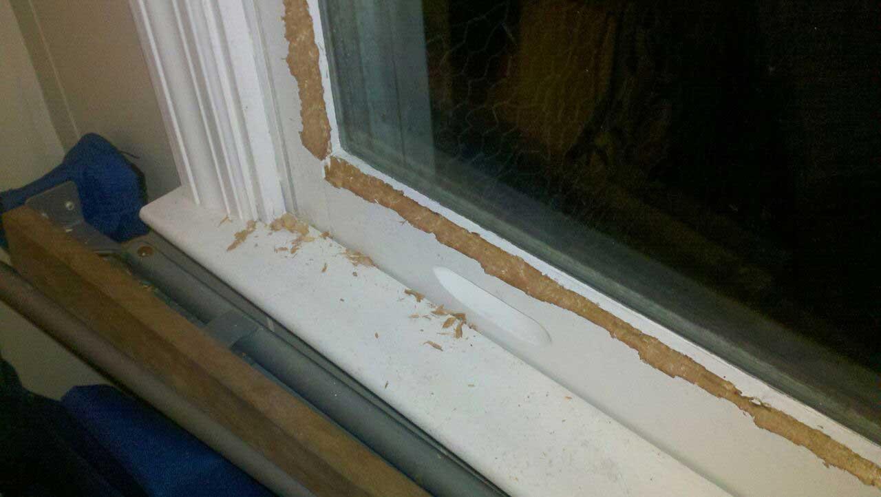 squirrel window damage