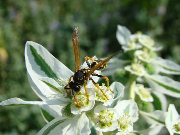 Wasps, Hornets, Bees & Stinging Insects