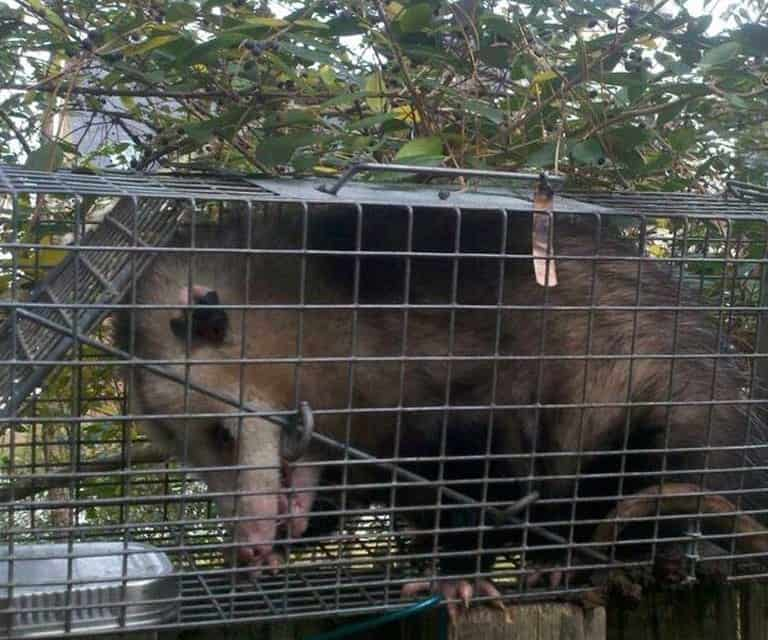 Columbia SC Squirrel Control Rat Mice & Opossum Removal Services Launched
