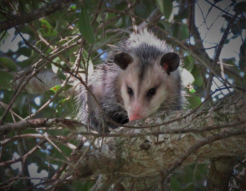 Columbia SC Wildlife Control Winter Opossum & Rat Control Service Expanded