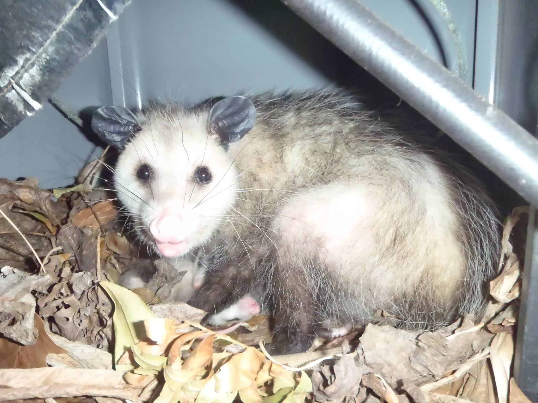 All Things Wild Gets Rid of Rats, Squirrels, Opossum, Raccoons in Columbia SC